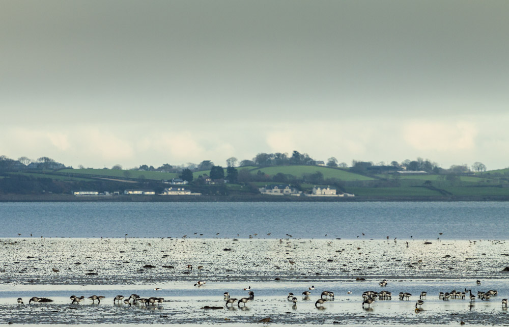 Brent Geese, Strangford Lough, Northern Ireland